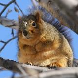 A Fat squirrel preparing for the next